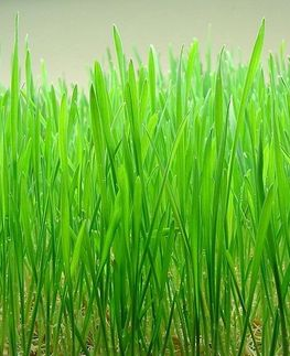 <b>ORGANIC WHEATGRASS<BR>CERTIFIED ORGANIC - HALAL</b><br>OFF - BIOVEDIK WHEATGRASS<br>30 sachets of powder 3grs - 90grs